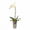 Orchid in Deco Vase