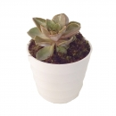 Succulent  in Ceramic Vase