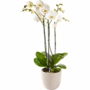 Plant: Orchid including pot