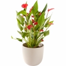 Plant: Anthurium including pot