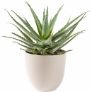 Plants: Aloe Vera plant including pot