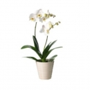 White orchid with two branches in ceramic pot