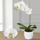 White orchid with one branch in ceramic pot