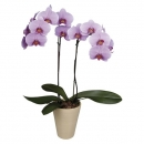 Two branched orchid in a ceramic pot